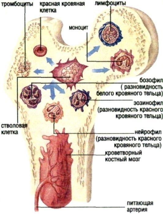 Короткие и плоские кости, а также концы длинных костей полости внутри себя не имеют.  Под тонким слоем плотного...