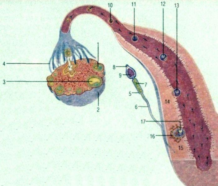 nevihod-spermi-iz-yaichka